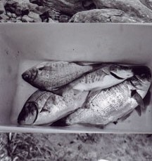 Totem 49 (Perch), 2011, Selenium-toned Gelatin Silver Print triptych, edition of 5, 26 x 54 inches framed