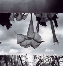 Totem 27 (Bellflower), 2011, Selenium-toned Gelatin Silver Print triptych, edition of 5, 26 x 54 inches framed, edition of 5