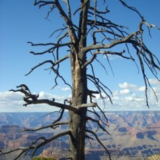Stately Tree, South Rim, Grand Canyon National Park, Arizona, 2009, Inkjet Print on Hahnemule Fine Art Paper, edition of 10