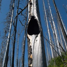 New Growth, Fire Damaged Forest, Kootenay National Park, Canada, 2011, Inkjet Print on Hahnemule Fine Art Paper, edition of 10